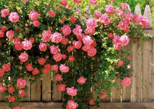 плесень на розах - Teletap.org
