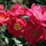 Сорта и выбор роз