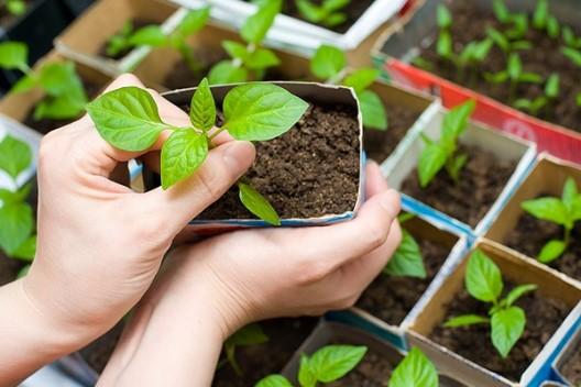 Как выбрать качественную рассаду